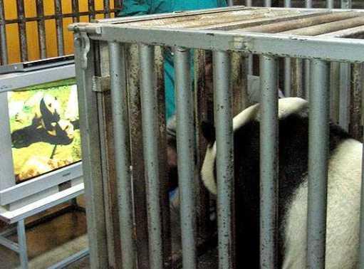 pandaporno