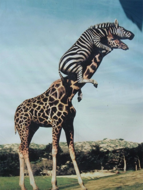 zebras and giraffes - photo #33